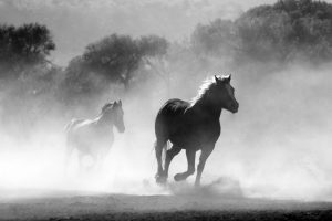 Brown and white stallions running